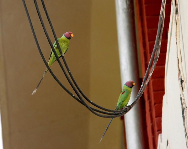 Попугайчики Политеха