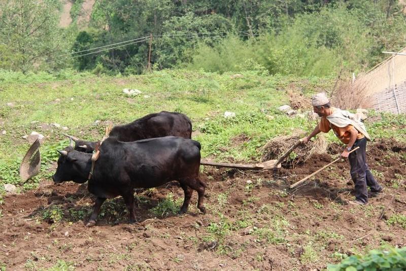 Хозяин пахал землю сохой с помощью буйвола