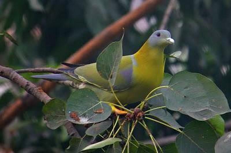 зеленые голуби